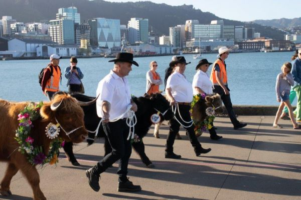 2019-performance-arcade-wellington-waterfront-woolly-manor-moos-as-part-of-the-rhinestone-cowboy-performance-the-only-cattle-to-ever-be-on-the-waterfront4340D247-15CF-1015-B30F-B72C2CC12508.jpg