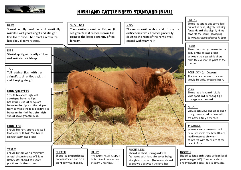 The Standard Highland Bull